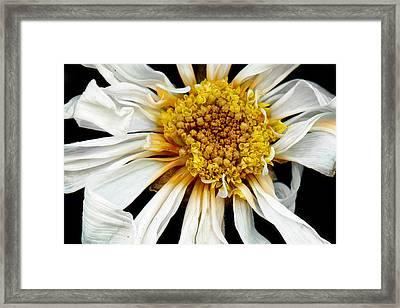 Flower - Daisy - Drunken Sun Framed Print by Mike Savad