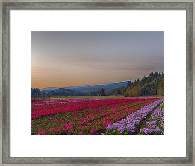 Flower Field At Sunset In A Standard Ratio Framed Print