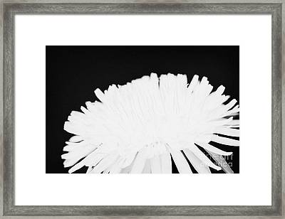 flower head of dandelion taraxacum officinale flower in garden family Compositae Framed Print by Joe Fox