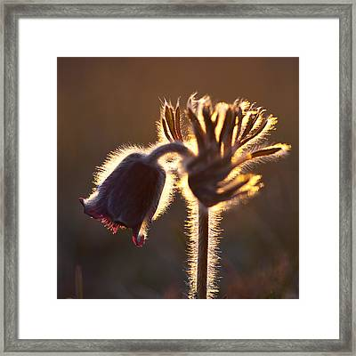 Framed Print featuring the photograph Flower In Back Light by Kennerth and Birgitta Kullman