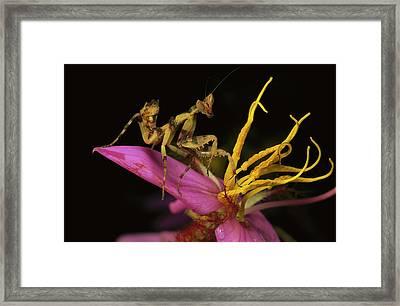 Flower Mantis Nymph Framed Print by Mark Moffett