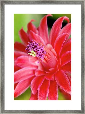 Flower Of Cleistocactus Winteri Framed Print by Dr Jeremy Burgess