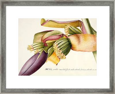 Flower Of The Banana Tree  Framed Print by Georg Dionysius Ehret