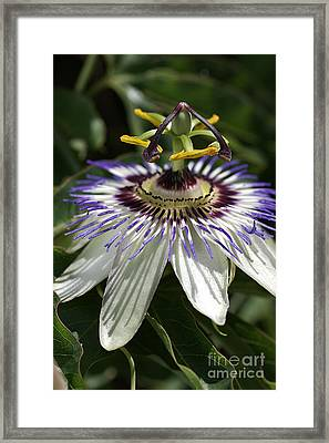 flower-Passionfruit Framed Print by Joy Watson