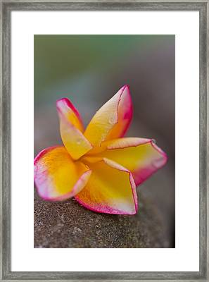 Flower Petals - Bali Framed Print by Matthew Onheiber