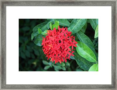 Flower - Piazza Palio - Khaoyai Thailand - 01131 Framed Print by DC Photographer