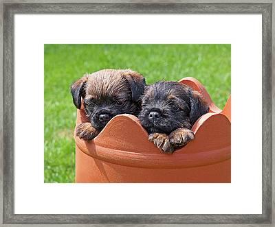 Flower Pot Puppies-border Terriers Framed Print by Gill Billington