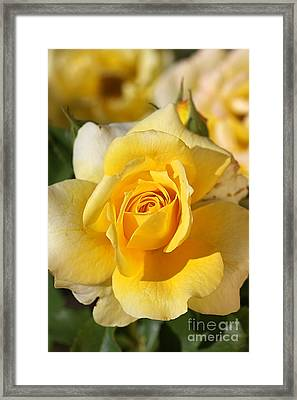 Flower-yellow Rose-delight Framed Print