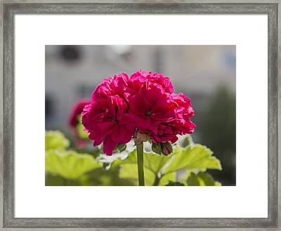 Flower2 Framed Print by Amr Miqdadi