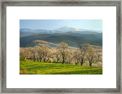Flowering Almond At The Mountains Framed Print