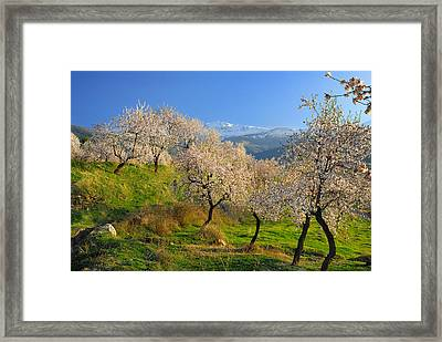 Flowering Almond At The Snowy Mountains Framed Print by Guido Montanes Castillo
