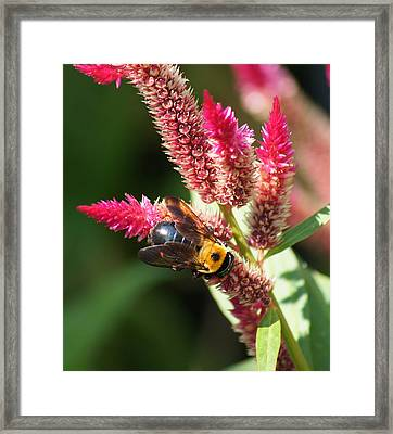 Framed Print featuring the photograph Flowering Bumble Bee by B Wayne Mullins