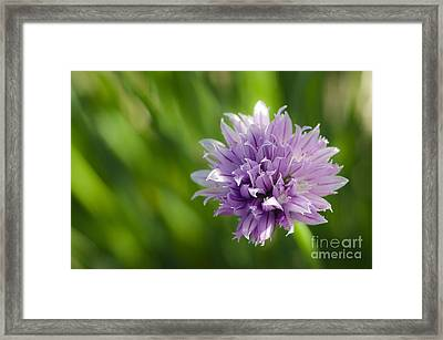 Flowering Chive Framed Print by Dee Cresswell