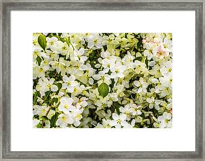 Flowering Crab Framed Print by William Howard