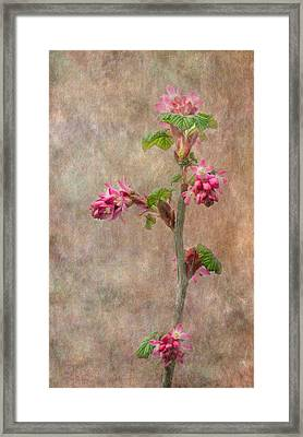 Flowering Currant Framed Print by Angie Vogel
