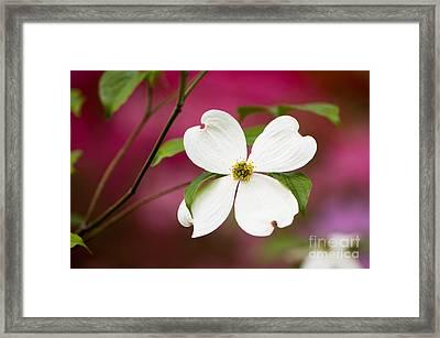 Flowering Dogwood Blossoms Framed Print by Oscar Gutierrez