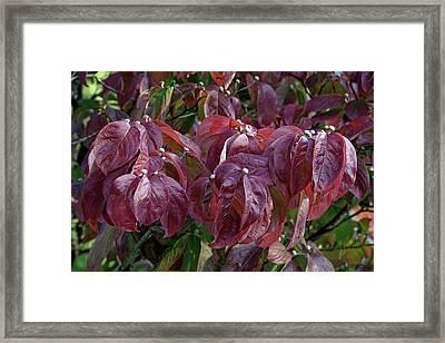 Flowering Dogwood (cornus Florida) Framed Print