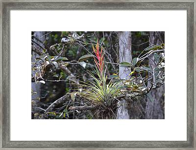 Flowering Everglades Air Plant Epiphyte Bromeliad Framed Print