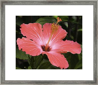 Flowering Hibiscus Framed Print by John Holloway