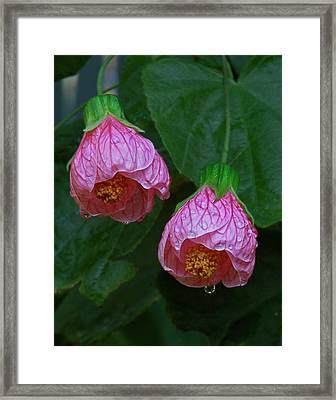 Flowering Maple Framed Print