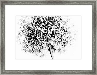 Flowering Onion Framed Print