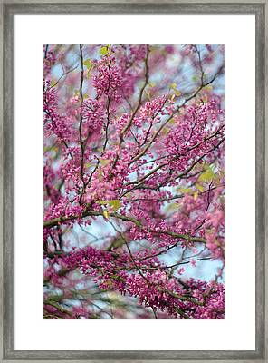 Framed Print featuring the photograph Flowering Redbud Tree by Suzanne Powers
