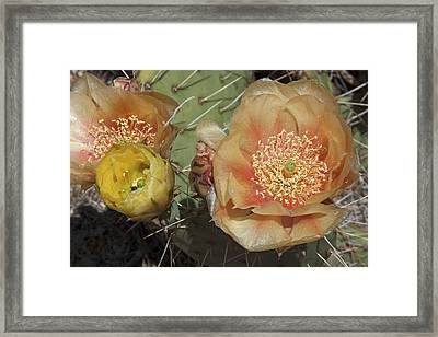 Flowering Prickly Pear Framed Print by Jennifer Nelson