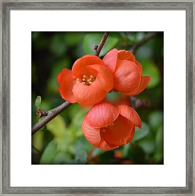 Flowering Quince Framed Print