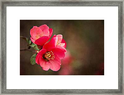 Flowering Quince Framed Print by Lana Trussell