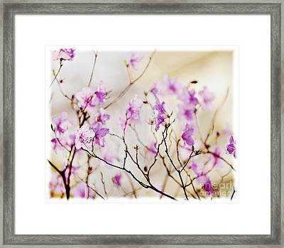 Flowering Rhododendron Framed Print by Elena Elisseeva