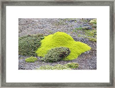 Flowering Saxifrage Framed Print