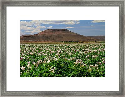 Flowering Shepody Potato Framed Print