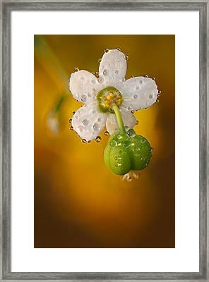 Flowering Spurge  Framed Print by Robert Charity