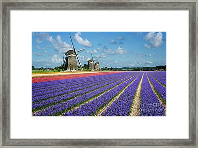 Landscape In Spring With Flowers And Windmills In Holland Framed Print