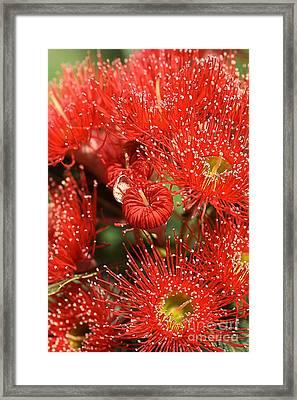 Flowers-red Eucalyptus-australian Native Flora Framed Print by Joy Watson