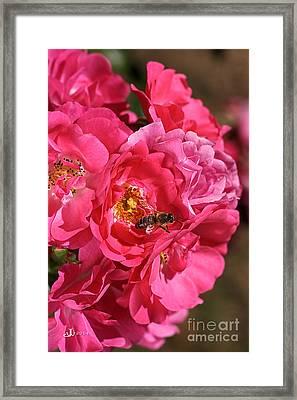 Flowers-roses-pink-bee Framed Print by Joy Watson