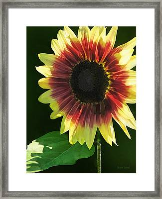 Flowers - Sunflower Ring Of Fire Framed Print by Susan Savad