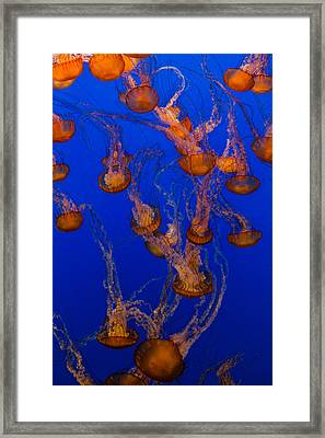 Flowing Pacific Sea Nettles 2 Framed Print by Scott Campbell