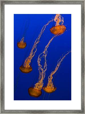 Flowing Pacific Sea Nettles 3 Framed Print by Scott Campbell