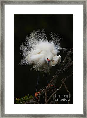 Fluffed Snowy Egret Framed Print by Jane Axman