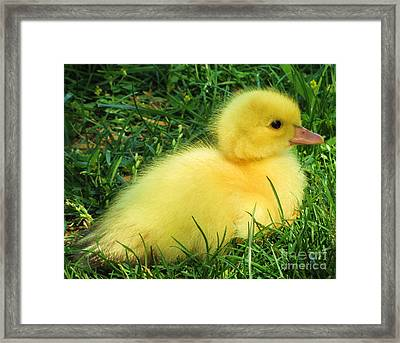 Fluffy Baby Duck Framed Print by Leslie Kirk