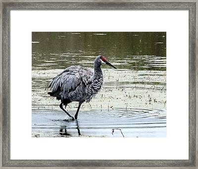 Fluffy Crane Framed Print by Norman Johnson