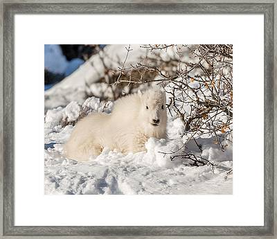 Fluffy Kid On The Mountain Framed Print by Yeates Photography