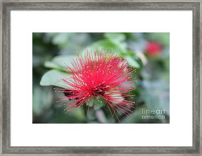 Fluffy Pink Flower Framed Print by Sergey Lukashin