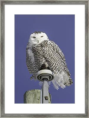 Fluffy Snowy Owl Framed Print by Thomas Young