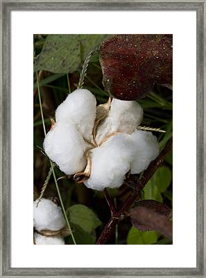 Fluffy White Cotton Boll Framed Print by Kathy Clark