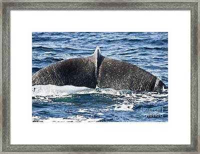 Flukes Of A Sperm Whale Framed Print by Heiko Koehrer-Wagner