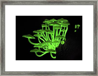 Fluorescent Fungus Glowing At Night Framed Print by Thomas Marent