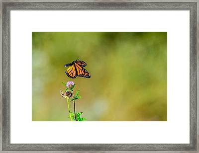 Flutter-by Framed Print