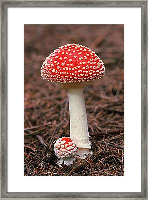 Fly Agaric (amanita Muscaria) Fungus Framed Print by Science Photo Library